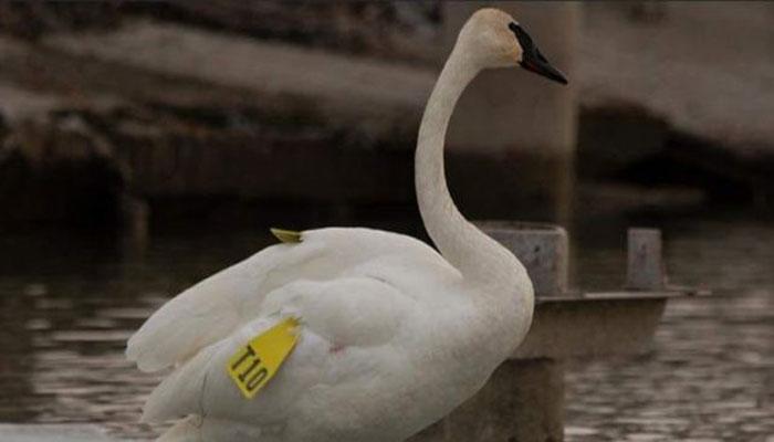 مرکز حیات وحش تورنتو دنبال یک قو زخمی میگردد که گم شده است