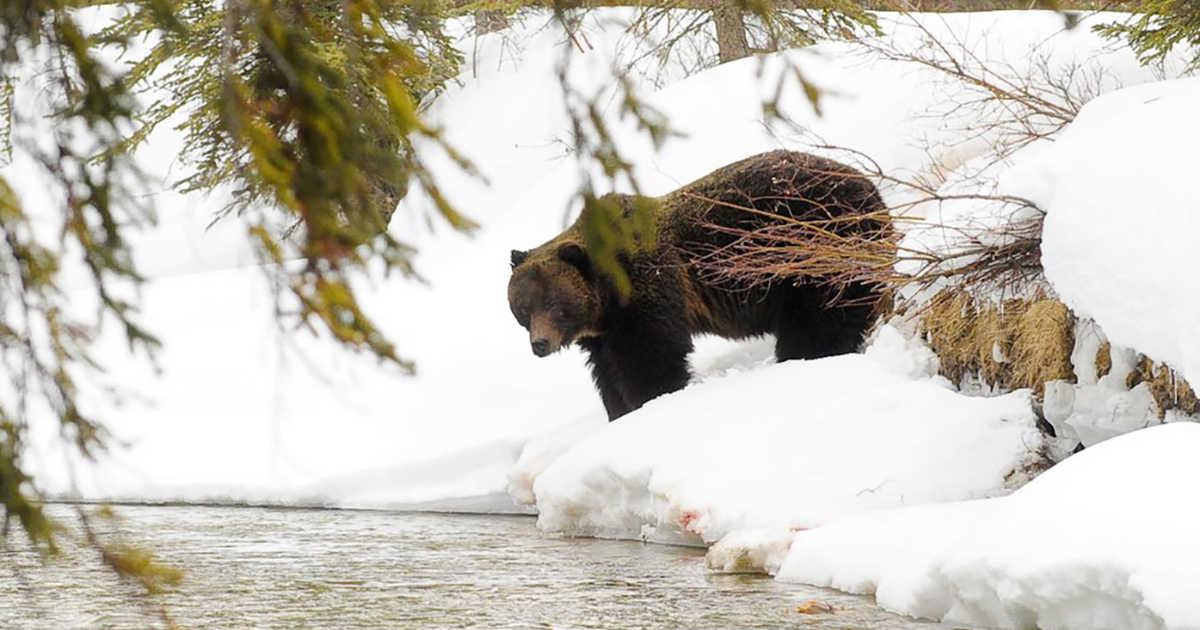 بهار آمد؛ نخستین خرس گریزلی آلبرتا بیدار شد