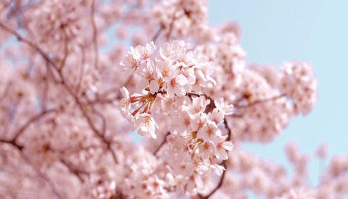 خبر خوش؛ فصل شکوفههای گیلاس (های پارک) تورنتو رسما آغاز شد