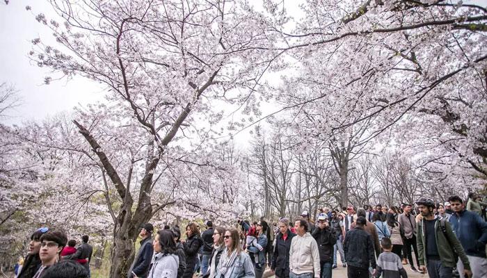تورنتو «های پارک» را میبندد که مردم به دیدن شکوفههای گیلاس نروند