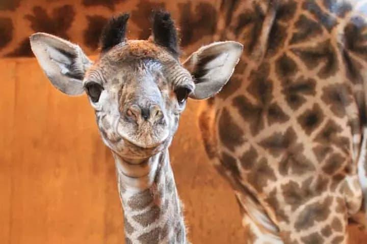 باغ وحش تورنتو در انتظار تولد یک نوزاد زرافه