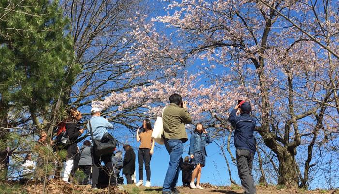 شکوفههای گیلاس در هایپارک تورنتو را امسال آنلاین ببینید