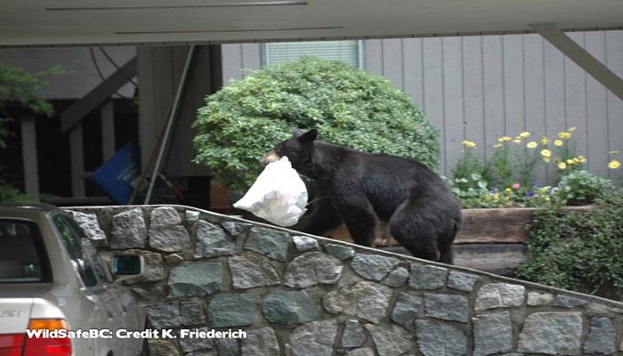 مردم در جزیره ونکوور این روزها باید مراقب خرسها هم باشند