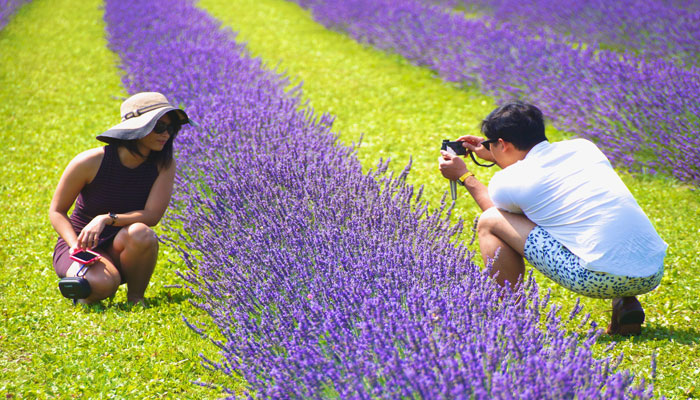 آیا امسال میتوانید عطر گلهای خوشبوی مزرعه اسطوخودوس را استشمام کنید؟