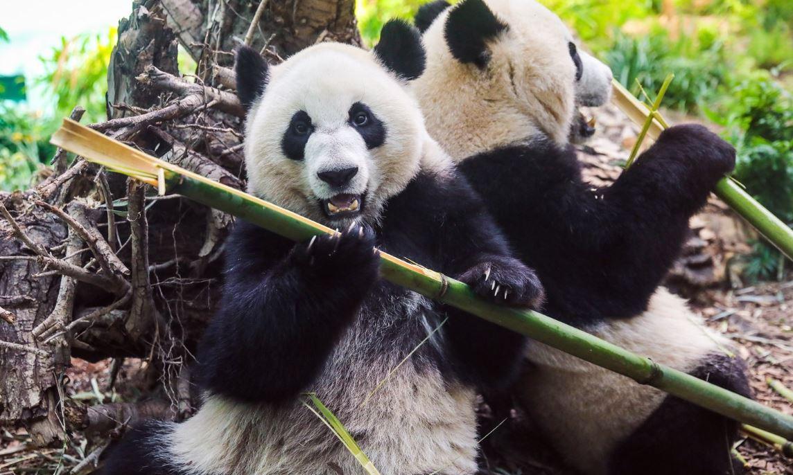 باغ وحش کلگری دو پاندا را به چین برمیگرداند، چون بامبوی کافی برای غذای آنها ندارد