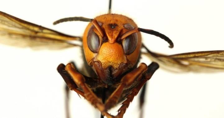 مراقب باشید! زنبور سرخ غولآسا و کشندهی آسیایی به کانادا رسیده است.