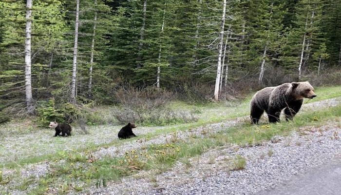 مشاهده نخستین توله خرس گریزلی با سر سفید و بدن قهوهای در پارک ملی بنف