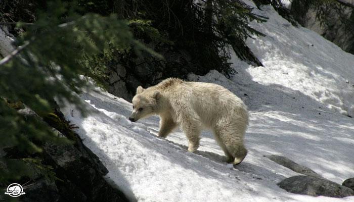 دیده شدن یک خرس کمیاب گریزلی سفید در بنف