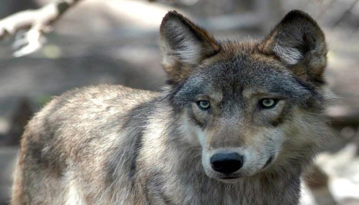 تلاش برای یافتن گرگی که به یک مرد سالمند در بریتیش کلمبیا حمله کرده است