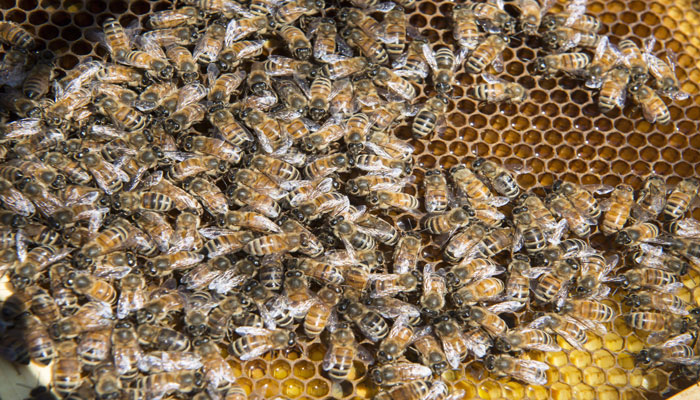 ۲۰۲۰ سال شیرینی برای زنبورداران کاناداست