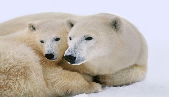 دانشگاه تورنتو: خرسهای قطبی ممکن است تا پایان این قرن دیگر نباشند